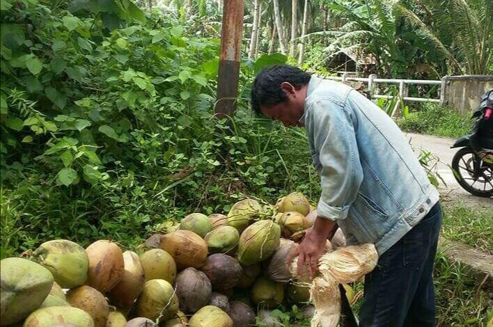 >> Kelapa. Harga komoditi tanaman perkebunan rakyat ini ikut mendorong kenaikan NTP di Sulut.