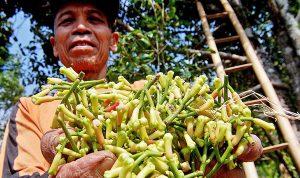 >> Membaiknya harga komoditi di subsektor tanaman perkebunan rakyat, terutama komoditi cengkih, kakao dan pala biji, berimbas pada kenaikan indeks yang diterima oleh petani.