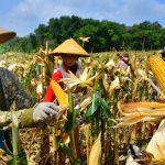 >> Pemkab Talaud mengandalkan jagung sebagai komoditi unggulan.